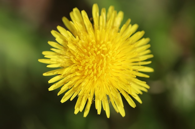 Spring dandelions on a green background. daylight. close-up