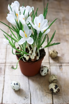 Spring or easter composition of crocuses and quail eggs. rustic style.
