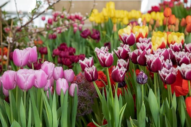 さまざまな色の美しいチューリップの春の展示会。花展の温室で生花。