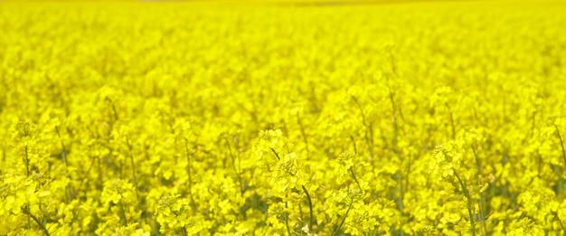 Spring field of fresh rape.