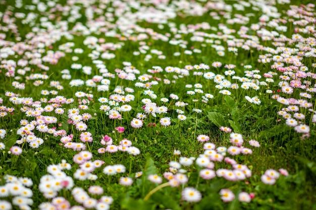 背景として白とピンクのヒナギクの春のフィールド