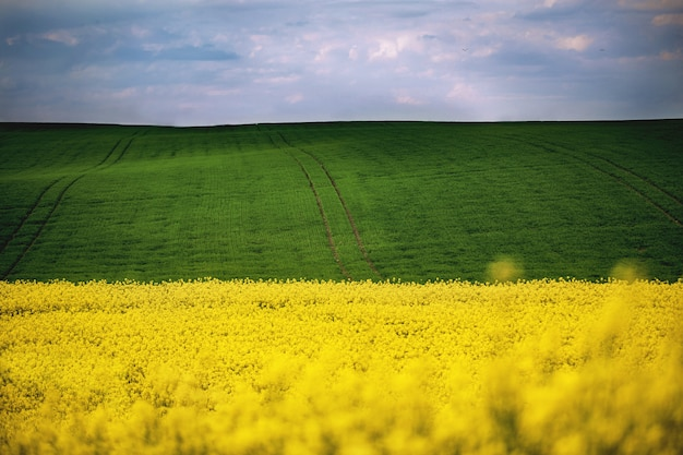 Spring field of yellow rapes flowers, rape. landscapes.