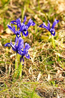 春の最初のクロッカスの花が庭に咲きます。紫色のオキナグサの花が花を閉じます。ベラルーシで雪が溶けた後、スノードロップまたはドリームグラスが現れる