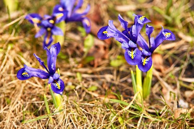 春の最初のクロッカスの花が庭に咲きます。紫色のオキナグサの花が花を閉じます。融雪後にスノードロップやドリームグラスが現れる