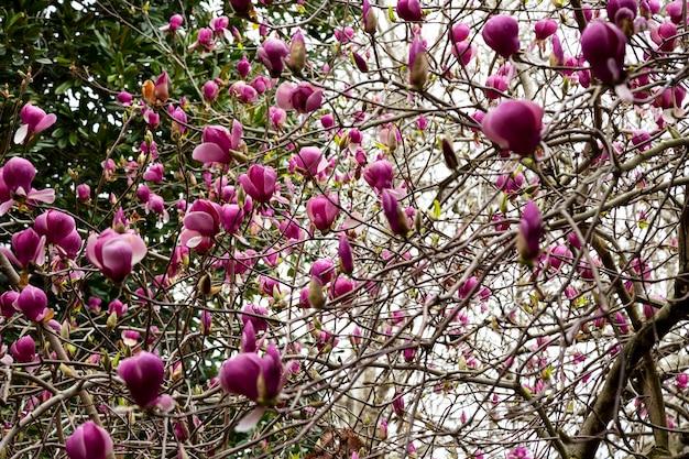 봄 꽃 배경입니다. 부드러운 빛에 아름다운 연분홍 목련 꽃. 선택적 초점