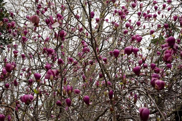 봄 꽃 배경입니다. 아름다운 연분홍 목련 꽃