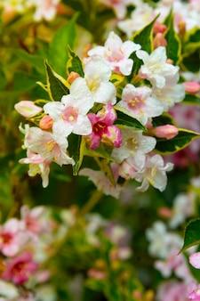 春の花の背景。ピンクの花の低木が咲いています。緑の葉の背景、テキスト用のコピースペース