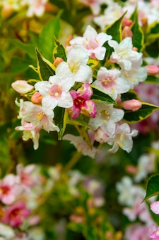 Spring floral background. pink flowers shrub blooming. green leaves background, copy space for text