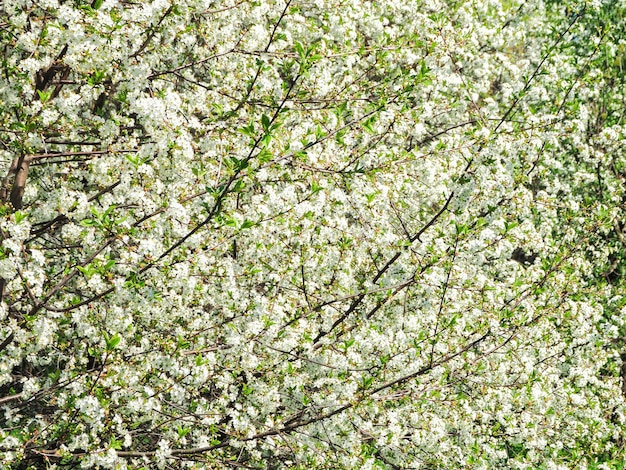 Spring flower background. the first cherry blossoms in the spring sun.