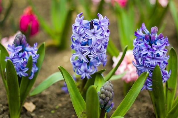 봄 꽃, 파란색과 보라색 히아신스 클로즈업