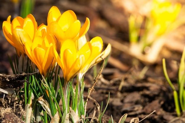 春の花クロッカス。