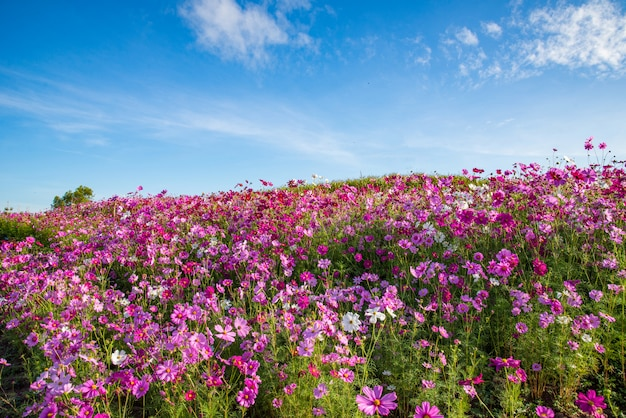 Spring flower pink field cosmos flower blooming in the garden