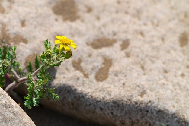 Весенний цветок, сохранившийся на скале