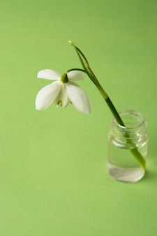 Spring flower, white snowdrops over green background.