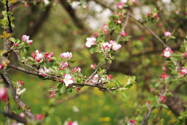 春の開花リンゴの木。春の庭の表面に枝ピンクの花リンゴの木