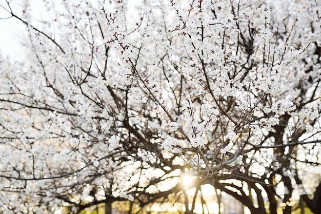 春開花アプリコットのクローズアップ。自然の目覚めの概念、4月、5月。