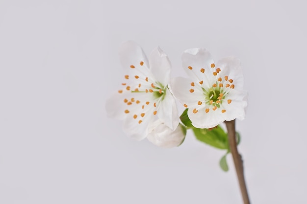 Весенняя цветущая ветка