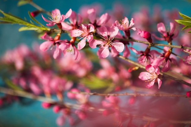 Spring flowering branches, pink flowers on a blue