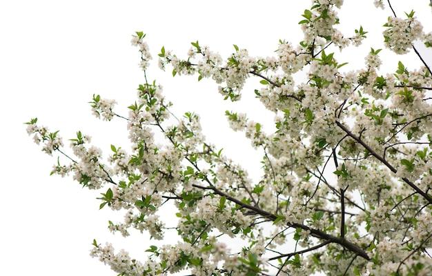 春の開花枝、ピンクの花、葉なし、花アーモンド