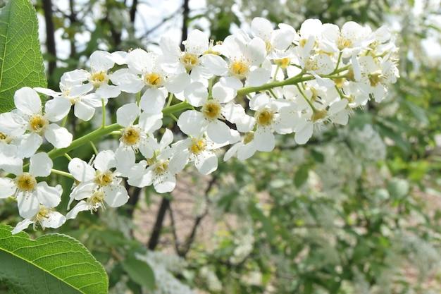 녹색 잎 클로즈업 흰색 작은 꽃으로 봄 꽃 벚꽃 지점. 배경 소프트 포커스.