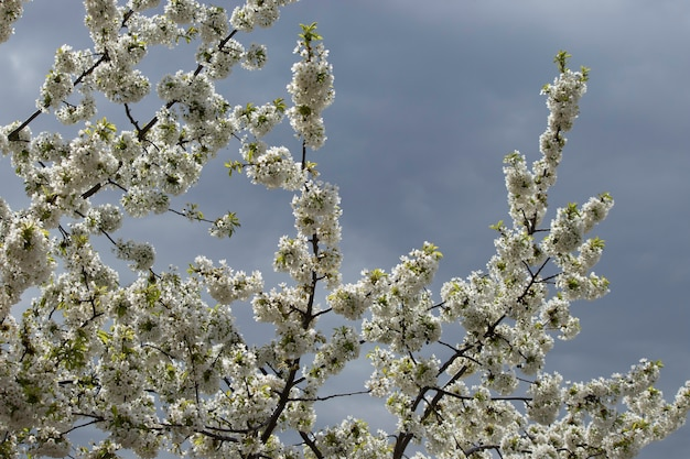 Spring flowering of flowers on a tree white flowers
