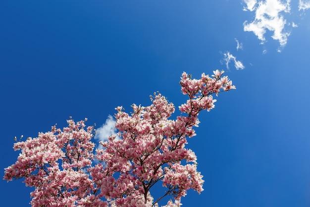 Весенняя цветущая ветка магнолии достигает голубого неба.