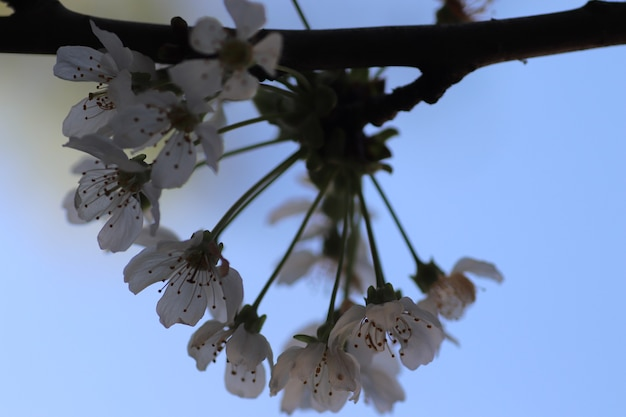 Весеннее цветение цветов на дереве белые цветы осы и шмели на прогулке