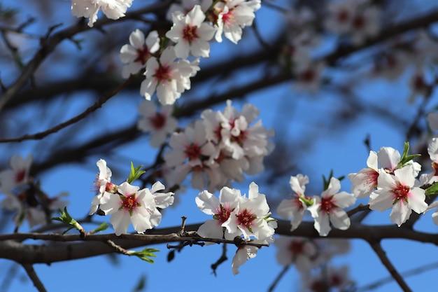 木の上の花の春の開花白い花