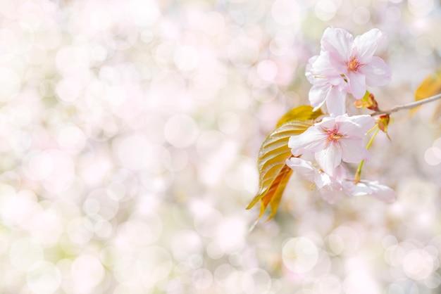 さくらの春開花。お祝い結婚式のグリーティングカードと結婚式招待状の背景。