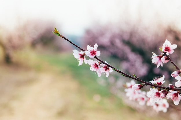 Spring flowering peach tree in the garden