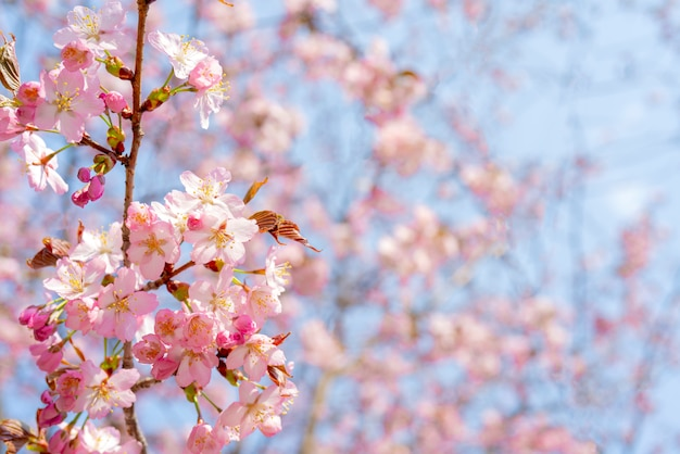 Spring flowering of sakura