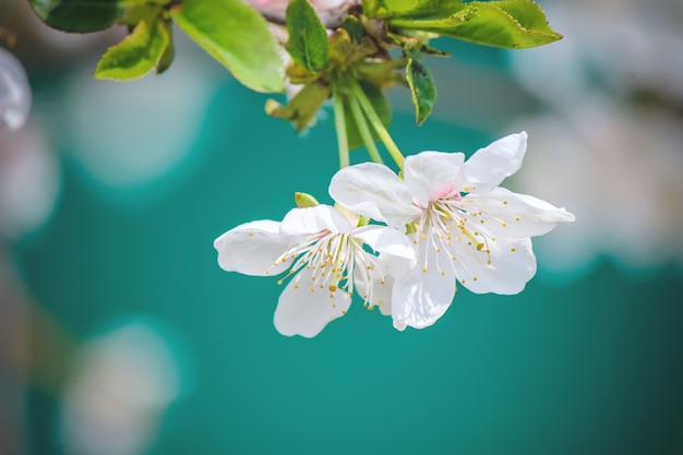 Spring flowering trees. blooming garden. selective focus nature