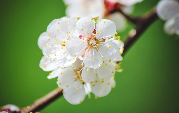 Spring flowering trees. blooming garden. selective focus nature