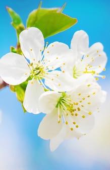 봄 꽃 피는 나무. 피 정원. 선택적 초점 프리미엄 사진