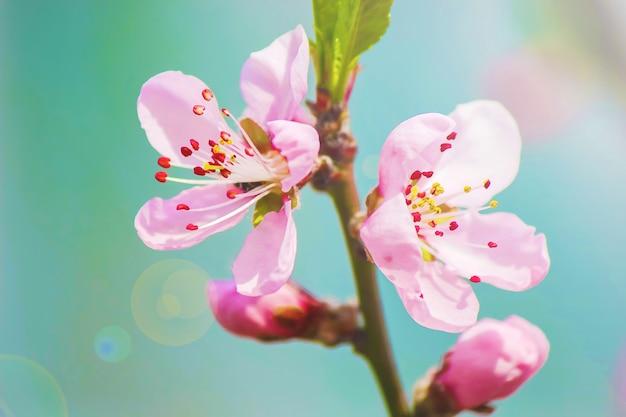 봄 꽃 피는 나무. 피 정원.