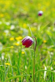 자연에서 봄 꽃이 만발한 야생화 튤립 아름다운 자연 붉은 야생 꽃 프리틸라리아 몬타나
