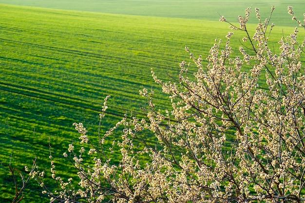 Весенние цветущие ветки ивы на фоне озимой пшеницы на зеленом поле озимых культур, фон весеннего настроения