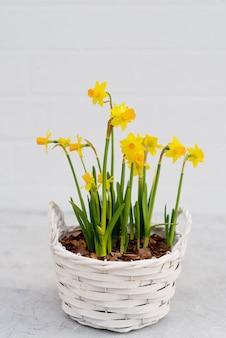 春のカントリースタイルの木製バスケットに水仙の春の植木鉢