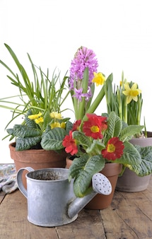 Spring flowerpots nd watering can