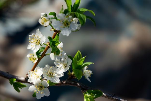 Весенние цветы. красиво цветущие ветви дерева крупным планом.
