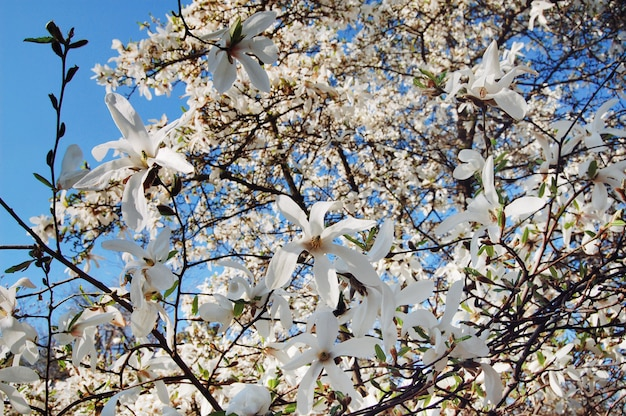 Spring flowers. beautifully blossoming tree branch. magnolia tree blossom, spring season.