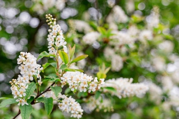 Spring flowers, bird cherry