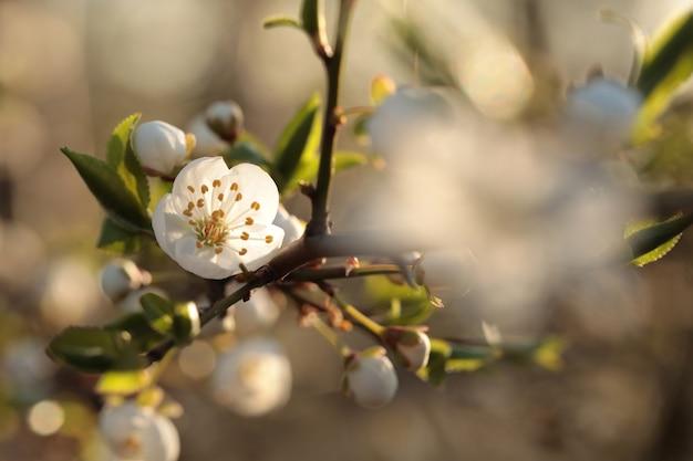 Весенние цветы, цветущие на дереве на рассвете