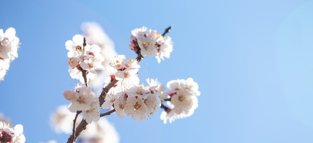 Spring flowers branches of flowering apricot against the blue sky.