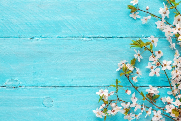 Spring flowers cherry blossoming on blue wooden background. top view with copy space