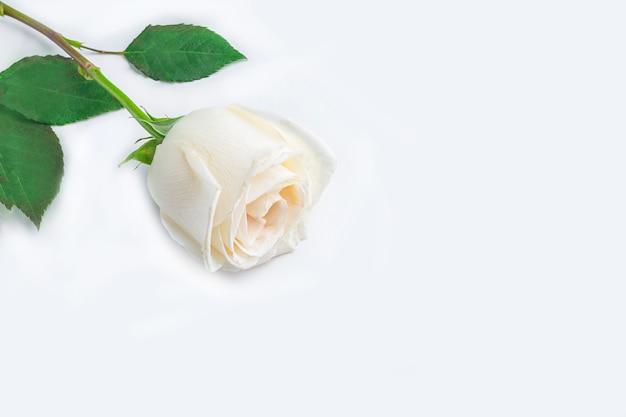 春の花の組成物。白い背景の上の1つの白いバラの花。ロマンチックなコンセプトです。