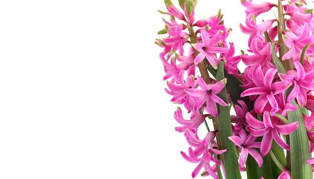 흰색 배경에 분홍색 히아신스 꽃이 있는 봄 꽃 구성, 왼쪽에 텍스트를 위한 빈 자리. 첫 번째 봄 향기로운 꽃 식물 인사말 카드입니다.