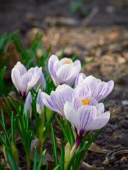 自然の中で春の花クロッカス。