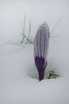 Spring flowers. crocuses purple buds