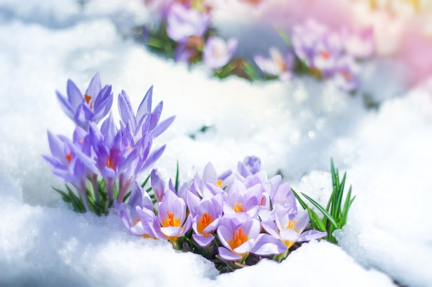 Spring flowers crocuses spring break out from under the snow